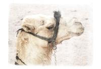 Camel 1 Fine-Art Print