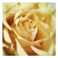 Rose 2 Fine-Art Print