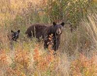 Black Bear Sow and Cub Fine-Art Print