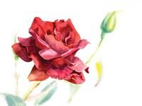 Red Rose Fine-Art Print