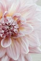 Blush Pink Dahlia Fine-Art Print