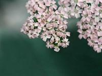 Blush Pink Flowers Fine-Art Print