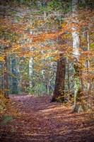 Rust Fall Forest Fine-Art Print