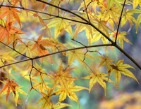 Autumn Maples Fine-Art Print