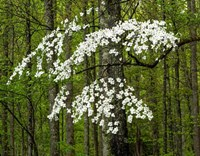 Dogwood Tree Fine-Art Print