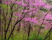 Redbud Tree Fine-Art Print