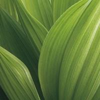 Corn Lily Fine-Art Print