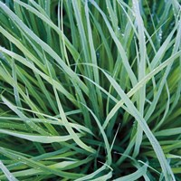 Grass with Morning Dew Fine-Art Print
