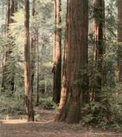 Redwoods 2 Fine-Art Print