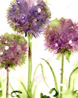Alliums Fine-Art Print