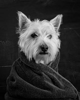 Portrait of a Westy Dog Fine-Art Print