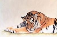 Sleeping Tiger Fine-Art Print
