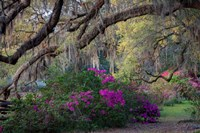 Oaks and Azaleas Fine-Art Print