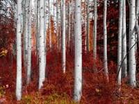 Fall Birches Fine-Art Print