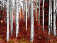 Fall Birches Fine-Art Print