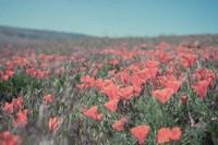 California Blooms I Fine-Art Print