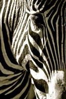 Zebra Head Fine-Art Print