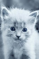 Blue Kitty Fine-Art Print