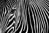 Zebra in Lisbon Zoo Fine-Art Print