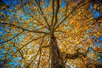 Fall Tree Fine-Art Print