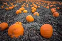 Sea of Pumpkins Fine-Art Print