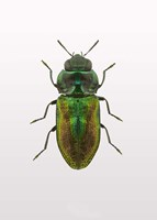 Beetle 1 Fine-Art Print