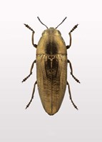 Beetle 4 Fine-Art Print
