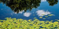 Water Lilies and Reflection Fine-Art Print