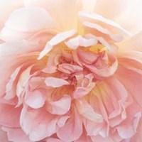 Heavenly Rose Fine-Art Print
