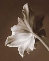 Moonglow Tulip Fine-Art Print
