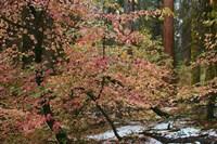 Dogwoods & Sequoia Fine-Art Print