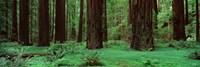 Redwoods, Rolph Grove Fine-Art Print