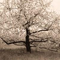 Apple Tree in Bloom Fine-Art Print