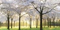 Bridal Trees Fine-Art Print