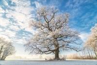 Cold Oak Fine-Art Print