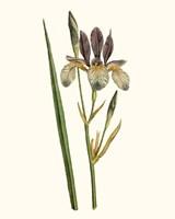 Antique Iris I Fine-Art Print