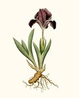 Antique Iris IV Fine-Art Print