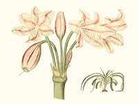 Antique Amaryllis V Fine-Art Print