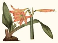 Antique Amaryllis VII Fine-Art Print