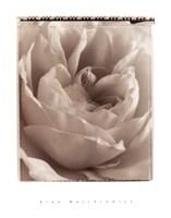 Delicate Rose Fine-Art Print