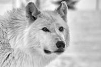 Wolf B&W 5014 Fine-Art Print