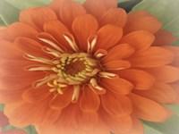 Orange Zinnia Fine-Art Print