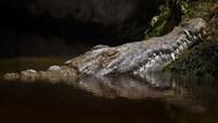 Crocodile Smile Fine-Art Print