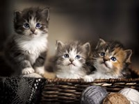 Three Kittens Fine-Art Print