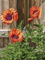 A Pop Of Poppies Fine-Art Print