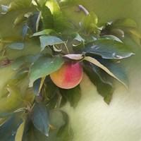 Apple Branch Fine-Art Print