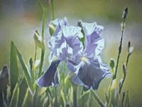 Blue Iris Fine-Art Print