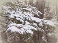 Snowy Pine Boughs Fine-Art Print