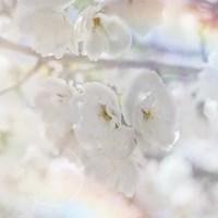 Apple Blossoms 01 Fine-Art Print