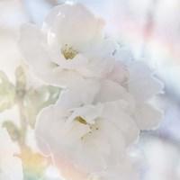 Apple Blossoms 02 Fine-Art Print